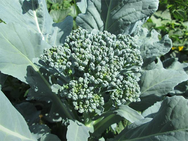 good+broccoli